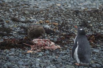 Gentoo Penguin with Brown Skua