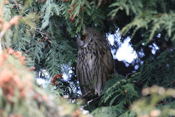 long-eared owl (Asio otus) Germany
