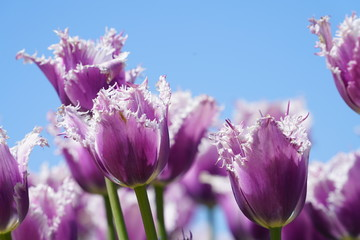 View of purple tulips during spring time north of Dallas, Texas, USA against a clear blue sky.