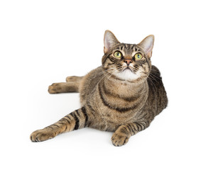 Brown and Black Tabby Cat Lying Looking Up
