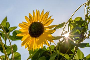 sunflower head in bright sunlight
