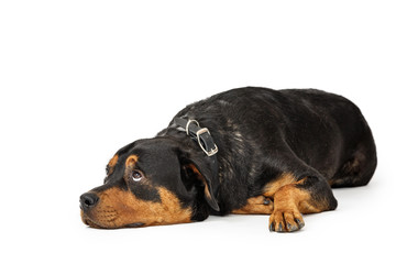 Spoed Fotobehang Hond Large patient Rottweiler breed dog lying down on white background while rolling eyes to look up