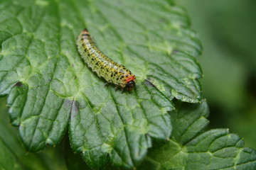 Sawfly Caterpillar