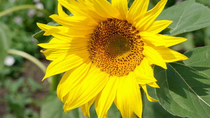 Close-up of colorful sunflower, sunflower's field, green leaves