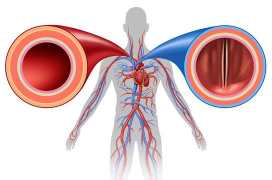 Artery And Vein Human Circulation