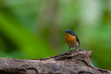 Rufous-chested flycatcher (Ficedula dumetoria) is a species of bird in the family Muscicapidae. Its natural habitats are subtropical or tropical moist montane forests.Bird on tree branch.