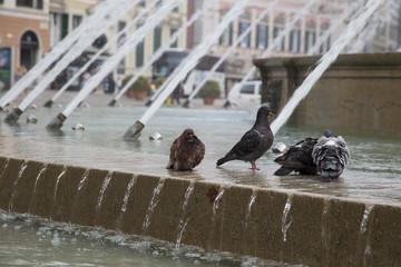images of pigeons near the fountain of Piazza De Ferrari in Genoa 2