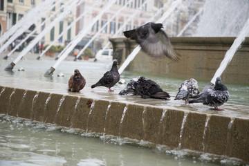 images of pigeons near the fountain of Piazza De Ferrari in Genoa