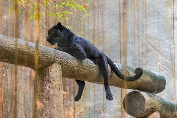 Photo sur Toile Panthère A black panther is the melanistic color variant of any big cat species. Black panthers in Asia and Africa are leopards and those in the Americas are black jaguars.