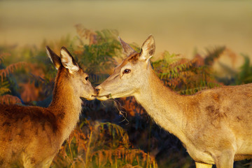 Close up of a Red deer hind looking after her calf