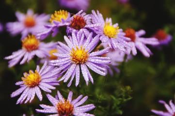 Blume Tropfen