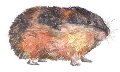 Watercolor realistic illustration of norwegian lemming. Furry rodent