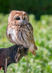 Tawny owl (Strix aluco). Captive falconry bird is sitting on a hand