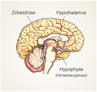 Gehirn-Aufbau.Hirnanhangdrüse