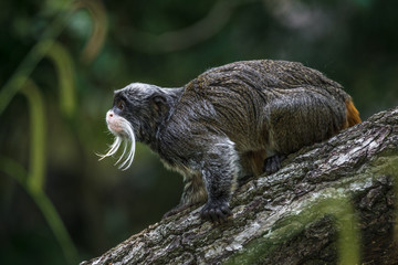 Portrait of funny bearded emperor tamarin monkey from Brazil jungles