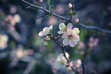 Vintage background with delicate fruit tree flowers.