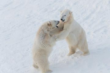 Polar bears boxing (playing)