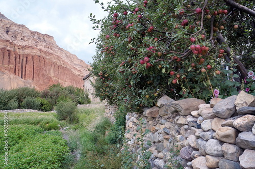 Apple tree with ripening fruit of a stone wall against a