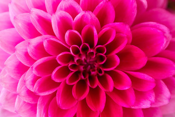 Macro shot of pink dahlia