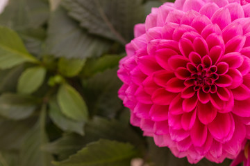 Pink dahlia with copy space.
