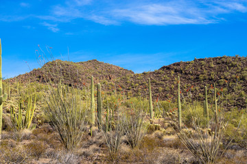 Organ Pipe Cactus National Monument in southern Arizona, showing Giant Saguaro and flowering Ocotillo cacti