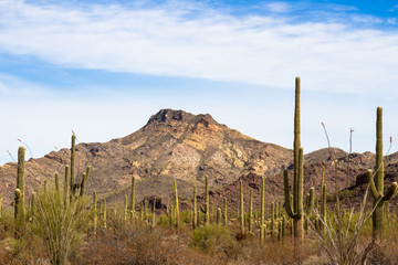 A forest of Giant Saguaro cacti at Organ Pipe Cactus National Monument in southern Arizona, showing the rugged landscape and flowering Ocotillo