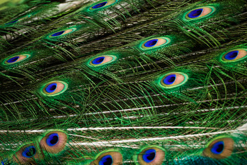 Peacock green and blue plumage