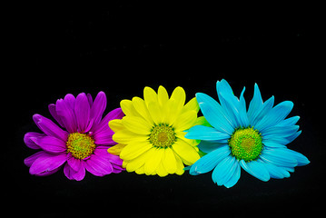 Purple, yellow and light daisy blue flowers on black background
