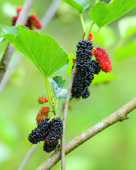 Fresh mulberry, black ripe and red unripe mulberries in farm