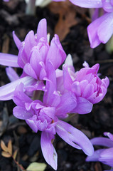 Colchicum waterlily or autumn crocus or meadow saffron or naked ladies purple plant