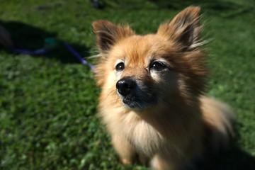 Smiley Pomeranian