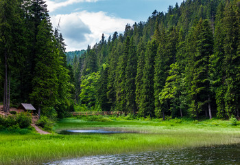 beautiful spruce forest around the lake. lovely nature scenery of Synevyr National Park with wooden bridge and alcove. popular travel location of Carpathian mountains in summer