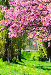 branches with cherry blossom over the grassy lawn. lovely nature springtime scenery in park