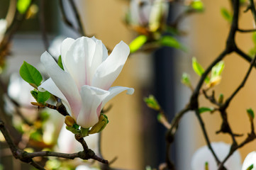 white flower of magnolia tree blossom close up