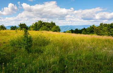 meadow with wild herbs on top of a hill in summer. beautiful nature scenery in mountains on a cloudy day