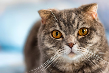 Grey British Shorthair cat portrait