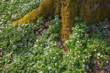 Flowering Wood anemone flowers at tree roots in spring