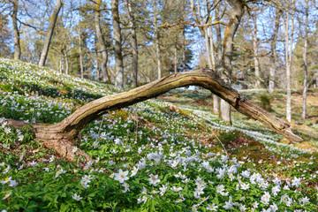 Wood Anemone at springtime