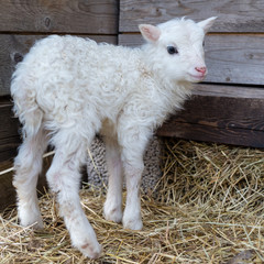 a littel white lamb standing on ones own