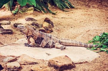 Cuban rock iguana - Cyclura nubile, red filter