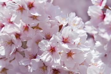 満開の桜、ソメイヨシノ、背景素材
