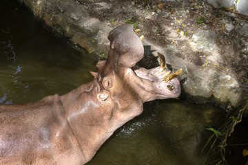 Close up hippopotamus, or hippo, mostly herbivorous mammal in water with open mouth and waiting for food from tourists