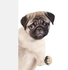 Funny pug puppy above white banner. isolated on white background