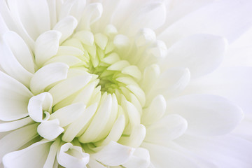 A white chrysanthemum flower close-up on a white background.