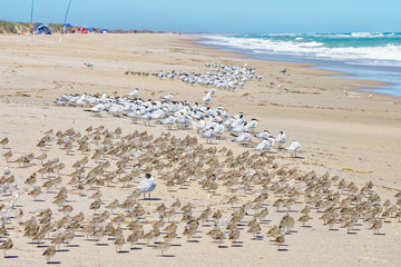 Flocks of shorebirds on the beach