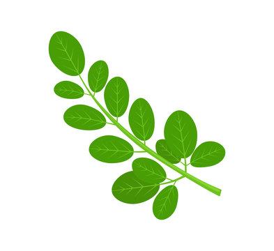 Moringa Green Plant and Leaves
