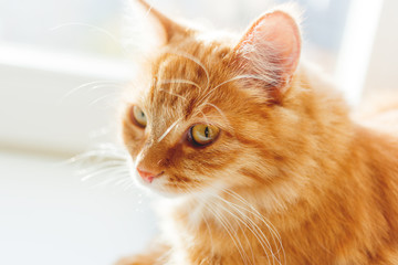 Cute ginger cat sitting on window sill. Cozy home background with domestic fluffy pet in sunlight.