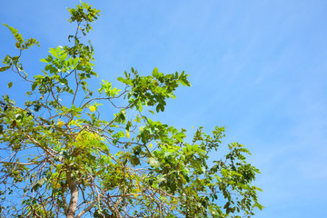 Tree Branch green leaves on blue sky Nature background