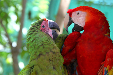 Macaw love - A red & a green parrot looking lovingly towards each other & talking, Roatan, Honduras, Central America.