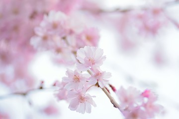 Macro texture of Japanese Pink Weeping Cherry Blossoms in horizontal frame